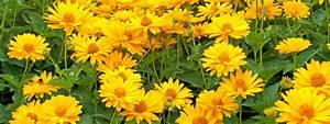 Fiori gialli da piantare adesso per riscaldare l'autunno Cose di Casa