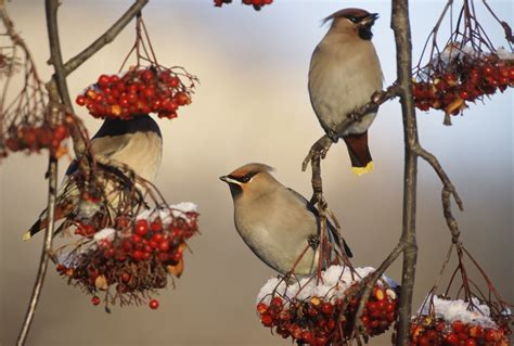 berries  birds love mnn mother nature network