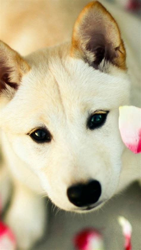 Choose from a curated selection of dog wallpapers for your mobile and desktop screens. Cute Dog Pink Petals iPhone 6 Plus HD Wallpaper / iPod Wallpaper HD - Free Download