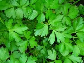 Italian Flat Leaf Parsley
