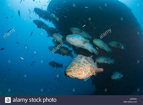 grouper spawning aggregation goliath alamy months between during