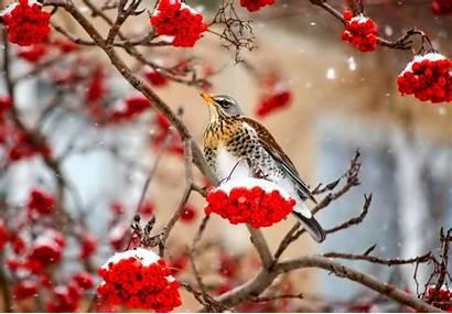 Winter Birds Snow Berries Animals Branch Bird