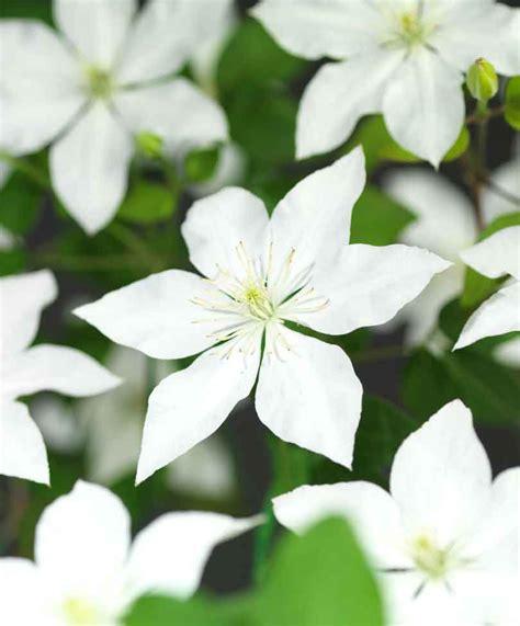 Buy Clematis Somany® 'white Flowers' Bakkercom