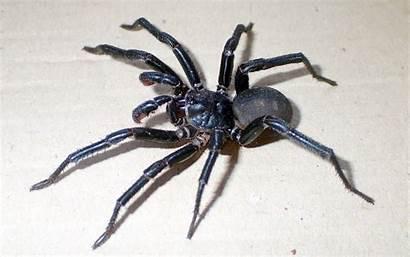 Spider Spiders Australia Scary Species Queensland Trapdoor