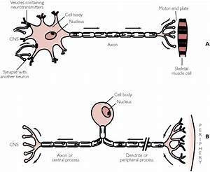 Sensory neuron. Causes, symptoms, treatment Sensory neuron