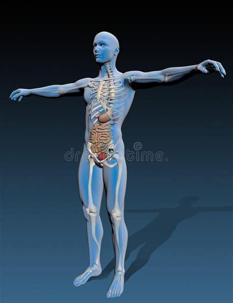 Corpo Umano Con Organi Interni Corpo Umano Con Gli Organi Interni Illustrazione Di Stock