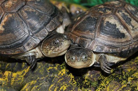 sideneck turtle african sideneck aquatic turtles look at those smiles aquatic turtles pinterest