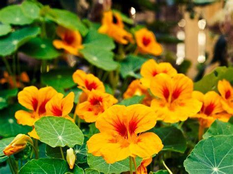 La Capucine Fleur La Capucine Cette Fleur Comestible Ecole