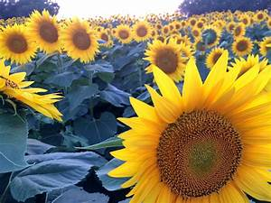 Sunflower Art   Activities For Kids   Sturdy For Common Things