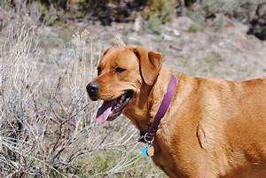 The gallery for --> Yellow Lab Mastiff Mix