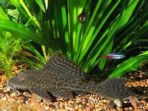 Poisson Aquarium Eau Chaude : les poissons d 39 eau chaude ~ Mglfilm.com Idées de Décoration