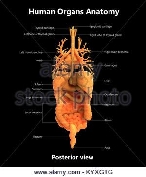 posterior view  human muscular system stock photo