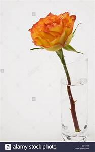 Einzelne Blume Vase : eine einzelne rose blume in einer glasvase auf einem wei en hintergrund stockfoto bild ~ Indierocktalk.com Haus und Dekorationen