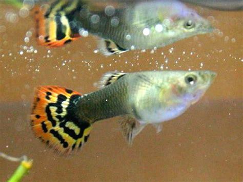 poissons d aquarium eau chaude les poissons d eau chaude