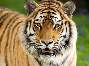 Tiger Full HD Wallpaper and Background Image | 1920x1440 ...