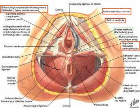 Muscles Of The Pelvic Floor Quiz by Muscles Of The Female Perineum Human Anatomy Chart