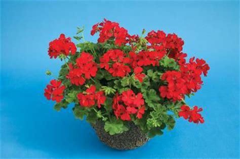 geranium interspecific pelargonium interspecific caliente