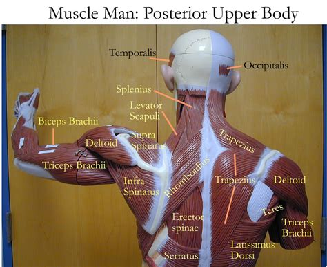 Back anatomy, back anatomy drawing, back anatomy muscles, back anatomy organs. Labelled Muscles Of The Upper Back Upper Back Muscles Man ...
