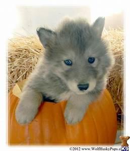 Wolf husky, Husky and Wolves on Pinterest