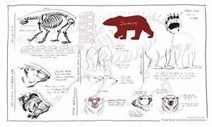 Polar Bear Anatomy Diagram Images
