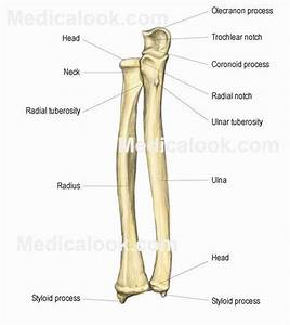 EX10-The Upper Limbs: Ulna & Radius - Anatomy & Physiology ...