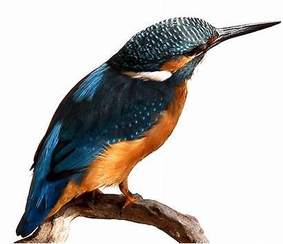 Kingfisher Gify Animowane Ptaki Obrazki Luisbc Raven