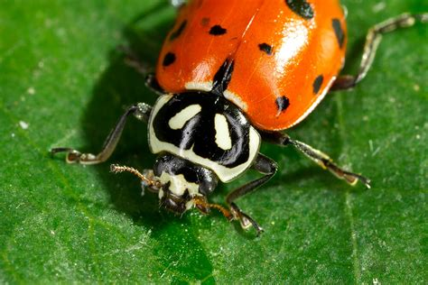 list  synonyms  antonyms   word ladybug