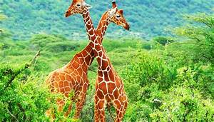 How Do Giraffes Mate? | Sciencing