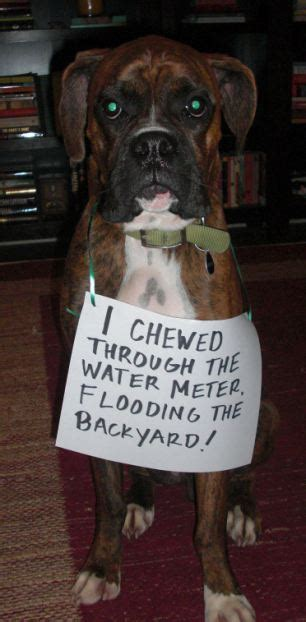 Dog Digs At Carpet by Badly Behaved Dogs Named Shamed And Made To Wear A Sign