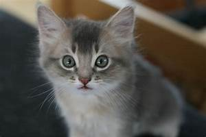 70+ Very Cute Somali Kitten Pictures And Images