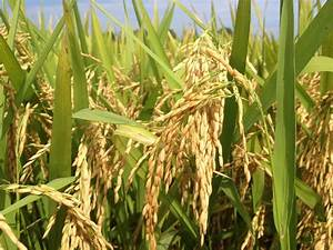 The Right Way To Grow Rice  4r Nutrient Stewardship