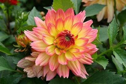 Bunga Dahlia Desktop Tinggi Lebar Definisi