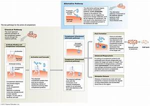 The Complement System In A Diagram