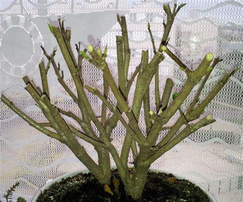 taille de l hibiscus en pot 28 images entretien hibiscus conseils et astuces pour des