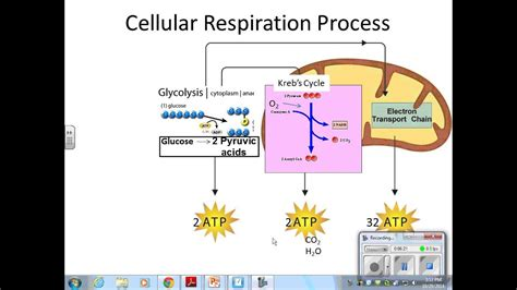 photosynthesis  cellular respiration details youtube