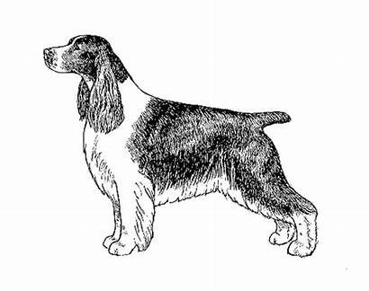 Spaniel Springer English Race Ukcdogs Vu Breeds