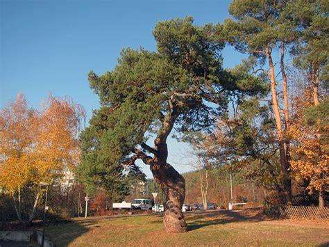 Kiefern Im Garten by Kiefern F 246 Hren Und Kieferb 228 Ume