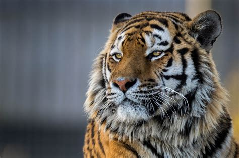tiger closeup  hd animals  wallpapers images