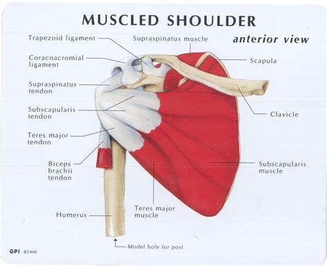 The deltoid, teres major, teres minor, infraspinatus, supraspinatus (not shown) and subscapularis muscles (not shown) all extend from the scapula to the humerus and act on the shoulder joint. Muscled Shoulder Joint Model - MedWest Medical Supplies