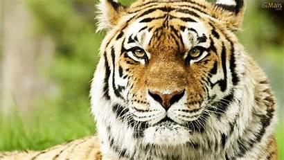 Siberiano Tigre Parede Papel Osmais Wallpapers