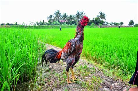 Turnamen sabung ayam online filipina dihentikan sementara karena virus corona. Ayam Sabung Malaya 2019 : Kelabu Api Batang Kaki Pembaka ...