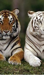 White Tiger Cubs With Blue Eyes Wallpaper | Wallpapers Gallery