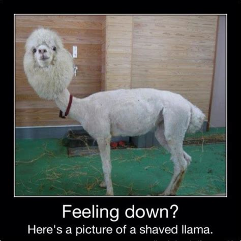 Shaved Llama Meme - feeling down heres a picture of a shaved llama jokes memes pictures