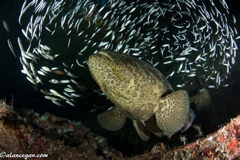 fish grouper goliath information facts url report