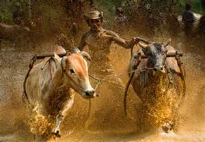 Pacu Jawi Bull Race