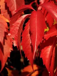 Rote Blätter Baum : kostenlose foto baum natur blatt blume bl tenblatt ~ Michelbontemps.com Haus und Dekorationen
