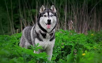 Husky Huskies Siberian Wallpapers Wallpaperplay