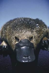 Platypus On Tumblr