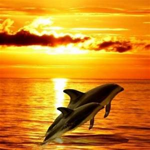 Dolphins jumping Out of water at sunset.   Animals ...