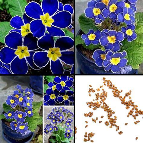 pcs rare blue evening primrose seeds easy  plant